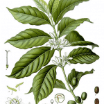 Illustration shows Coffea arabica plant and seeds -- arabica, along with  Coffea canephora (predominantly a form known as 'robusta'), are the two main species in cultivation.