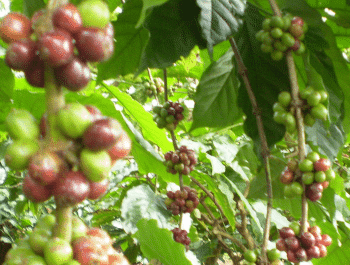 Coffee Beans Growing